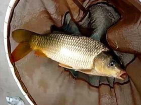 冬季钓鲤鱼线组很重要