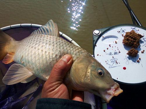钓鲤鱼小药因鱼情添加